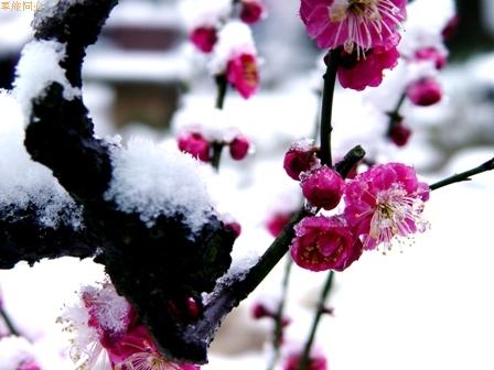 七绝 春雪/和pirunqing - 一掬茗香 - 一掬茗香的博客