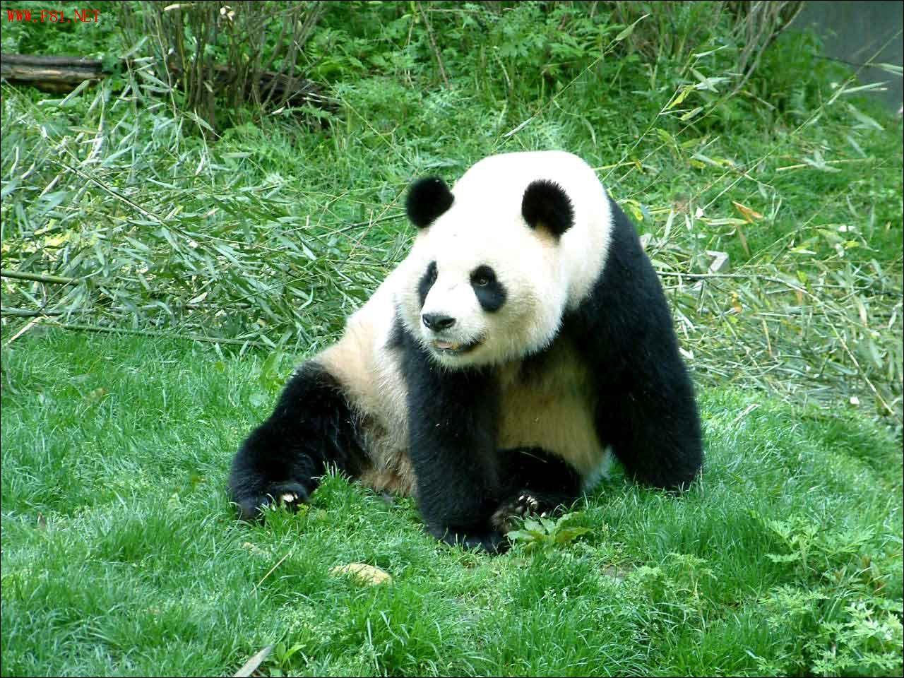 [原创]可爱的大熊猫